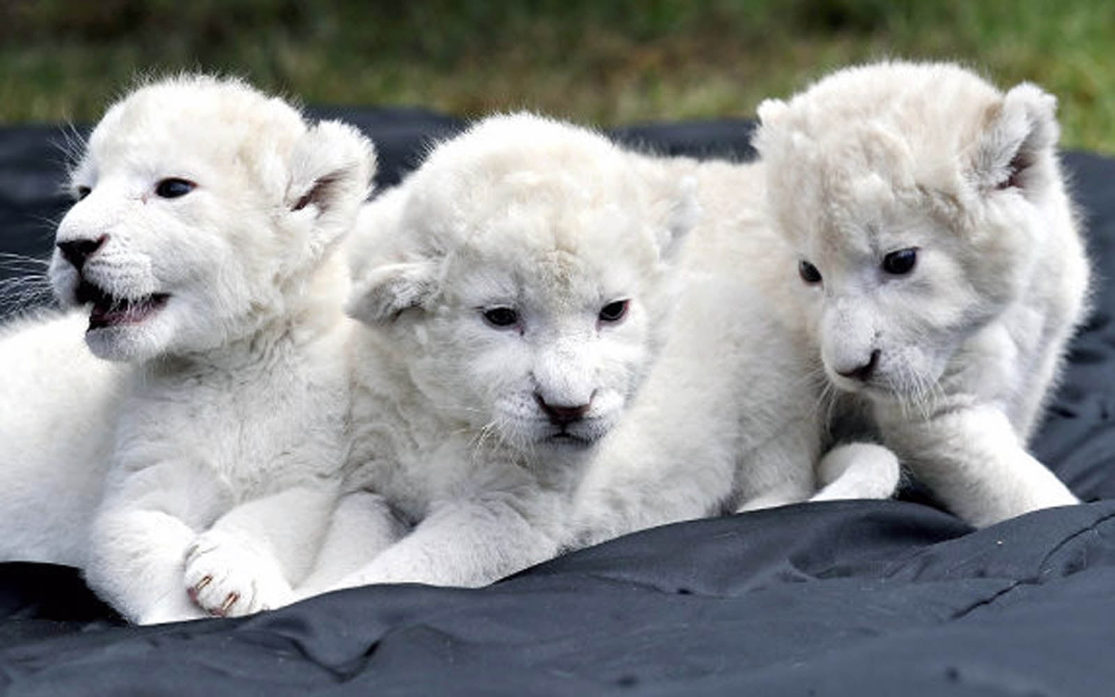 Baby White lion Picture 5