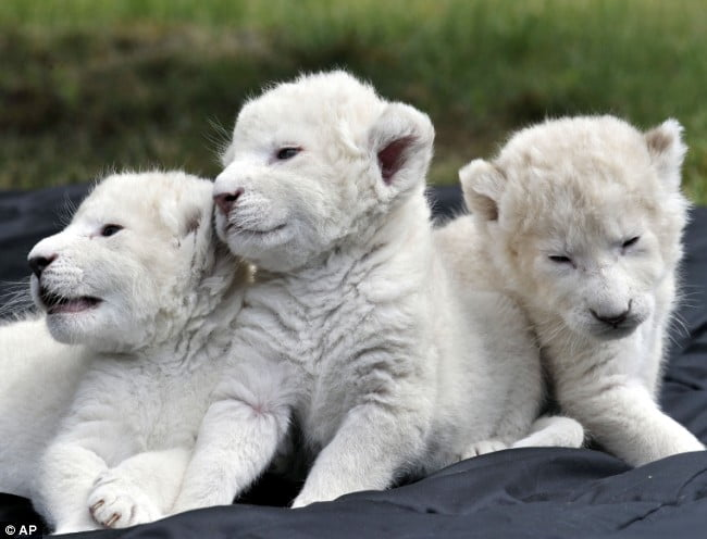 three-white-lion-cubs